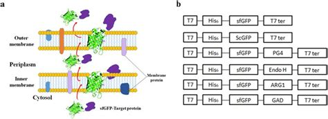 Non-peptide guided auto-secretion of recombinant proteins