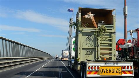 Tall order: Giraffe hits the road for new home