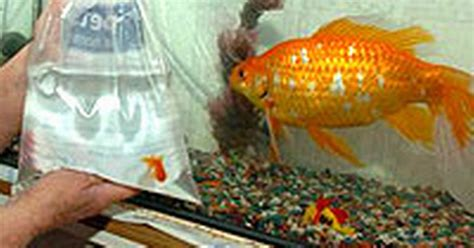 Tipping the scales: Goldie the giant goldfish weighs more