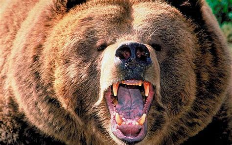 US officials trap grizzly bear suspected of killing camper