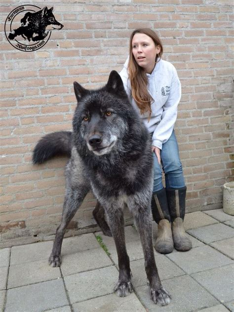 best photos, images and picutures ideas about tamaskan dog